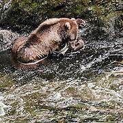 USA, Afognak Island, Kodiak Archipelago (AK).Kodiak bear (Ursus arctos middendorffi) and salmon