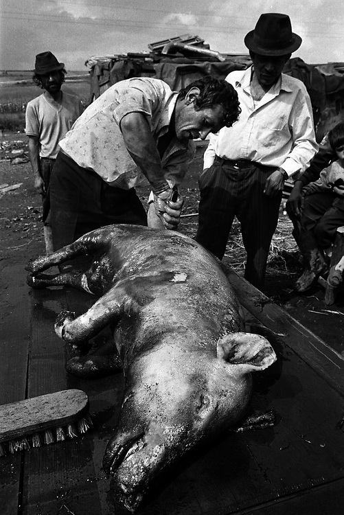 A pig is prepared for a community meal at Pata-Rat, a Roma community made up of 150 people living in shacks adjoining a rubbish dump. Transylvania Romania 1996.©David Dare Parker / Network Photographers