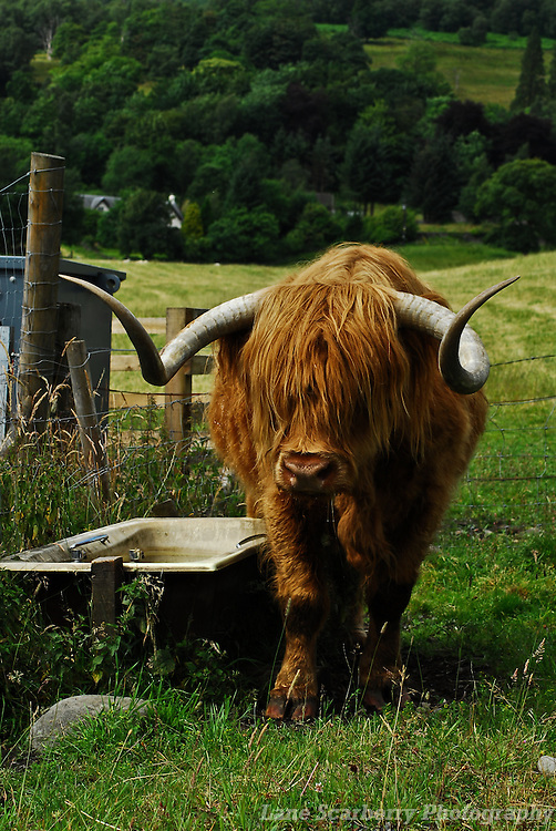 Highland Cows on the road between Oban and Edinburgh, Scotland.