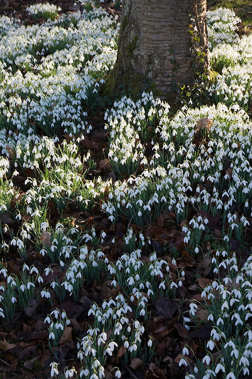 Snowdrops on woodland floor in The Cotswolds, Oxfordshire, England, United Kingdom