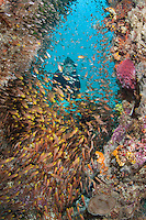 A diver observes Golden Sweepers in a Reef Cavern<br /> <br /> Shot in Indonesia