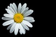oxeye daisy (Chrysanthemum leucanthemum) - Margerite