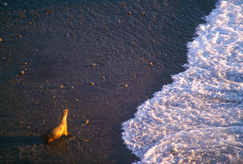 350606-1001 ~ Copyright: George H. H. Huey ~ California sea lion heading into surf at sunset on Santa Barbara Island. Channel Islands National Park, California.