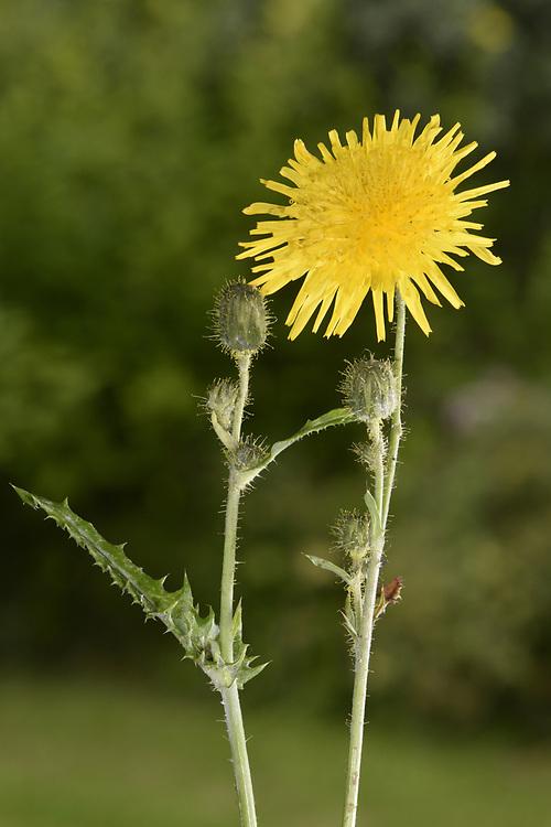 Perennial Sow-thistle - Sonchus arvensis