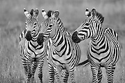 These three look like they have seen and done a few things together. This image is a great documentation of the individual nature of zebra stripes. Just like our finger prints, each zebra has its own unique pattern.