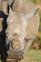 De-horned white rhino, Gondwana Game Reserve, Western Province, South Africa