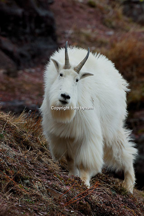 mountain goat billy  rocks, mountain goat billy close up