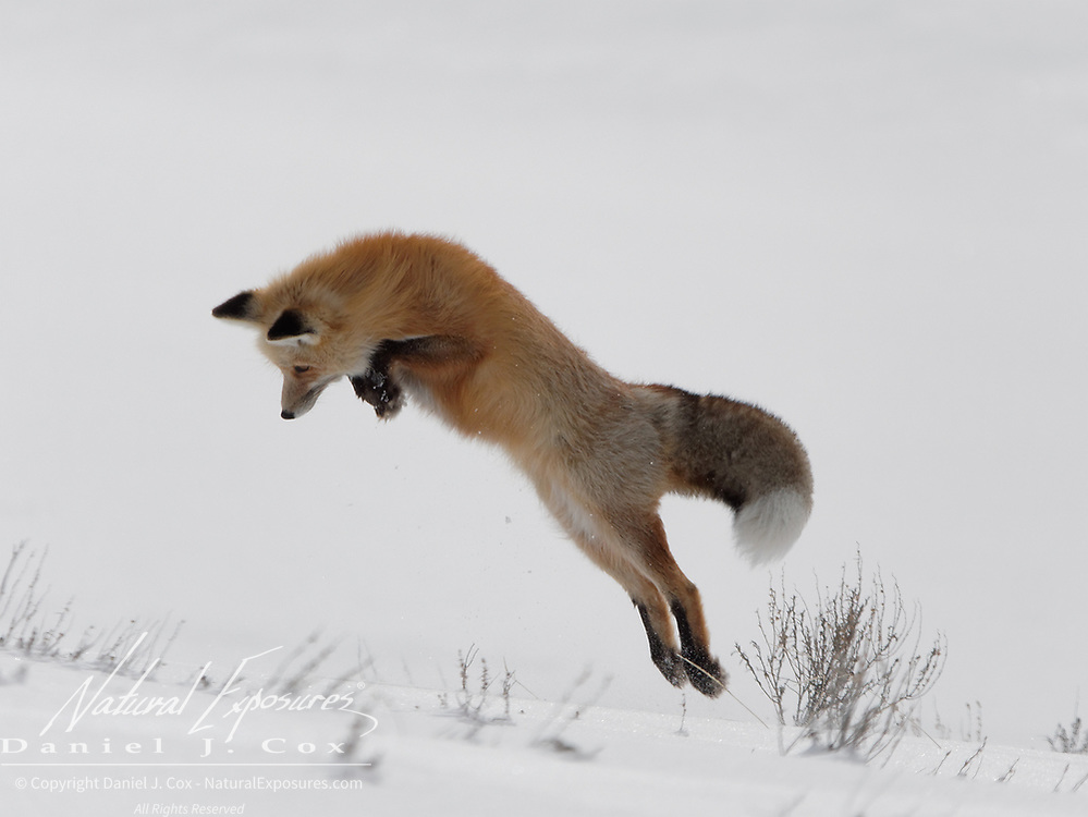 Red fox (Vulpes vulpes) jumps into the air to grab a small rodent he is hunting. Yellowstone National Park