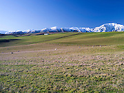 MacKenzie Country's pastures and sheep with the Four Peaks Range in the background, New Zealand.