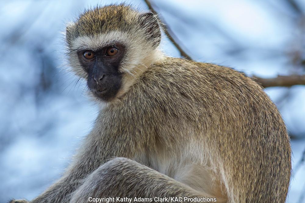 Vervet monkey, Ereopithecus pygerythrus, Tarangire National Park, Manyara Region, Tanzania, Africa.
