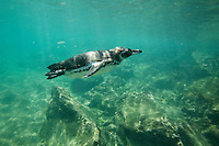 A Galapagos Penguin (Spheniscus mendiculus) swimming off the coast of Bartolomé Island.