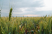 Wheat field, with storm clouds, Galilee, Israel