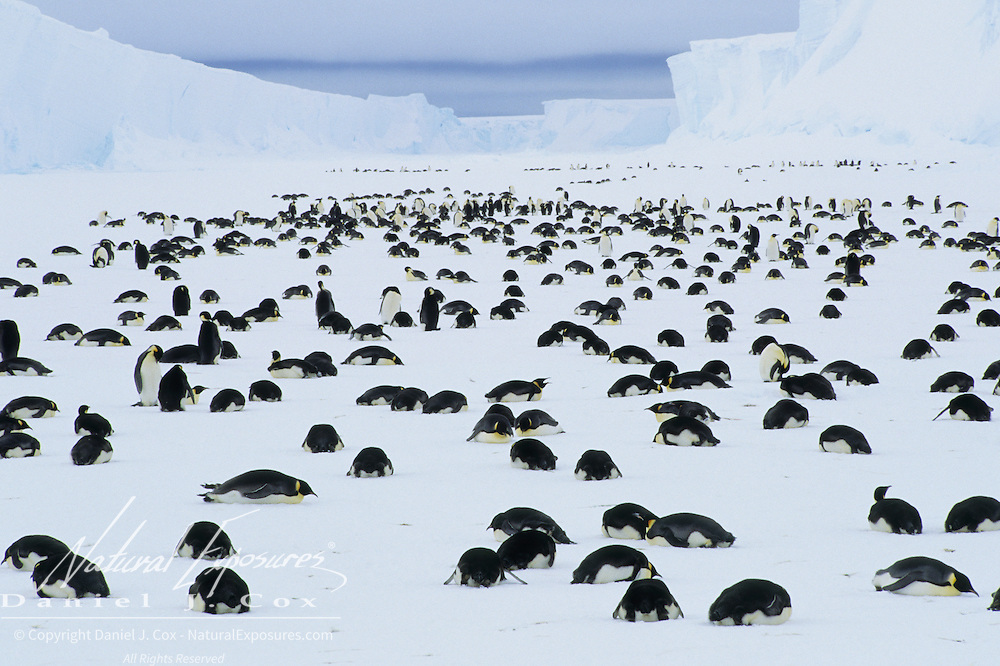 Emperor Penguin adults in mourning because of the death of their chicks. Antarctica