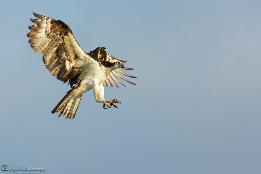 Osprey, Haliaetus pandion lands on nest near Fenwick, De.