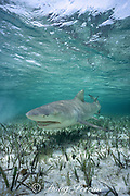 lemon shark, Negaprion brevirostris, swimming across seagrass bed, Bahamas ( Western Atlantic Ocean )