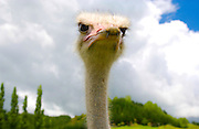 Ostrich face , North Island, New Zealand