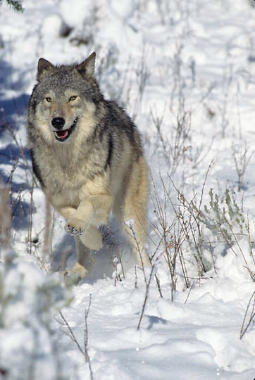 Gray Wolf, (Canis lupus) Running in Snowy foothills of Rocky Moutains. Montana. Winter. Captive Animal.
