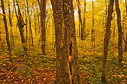 Autumn in hardwood forest<br />La Mauricie National Park<br />Quebec<br />Canada