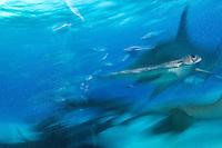 Great Hammerhead Shark, blurred<br /> <br /> Shot in Bimini, Bahamas