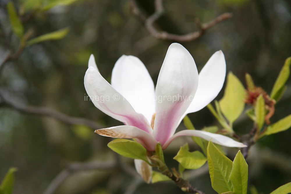 Close up of a magnolia tree flower
