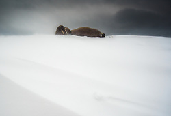 Walrus (Odobenus rosmarus) in winter at Moffen, Svalbard, Norway