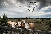 Boskap på Hundlausar på södra Gotland