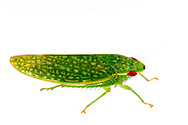 Leafhopper (Rugosana querci)<br /> United States: Alabama: Tuscaloosa Co.<br /> Tulip Tree Springs off Echola Rd.; Elrod<br /> 8-Oct-2016<br /> J.C. Abbott #2873