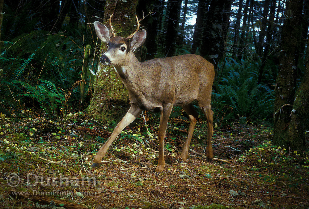 A young spike buck white-tailed deer (Odocoileus virginanus) walks down a game trail in the Tillamook State Forest, Oregon.
