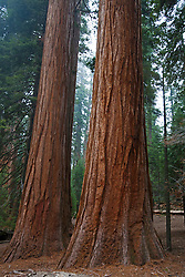 Two Giant Sequoia trees (Sequoiadendron giganteum), Sequoia National Park, California, United States of America