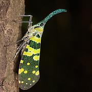 A Pyrops viridirostris lantern bug at Phu Toei National Park, Thailand.