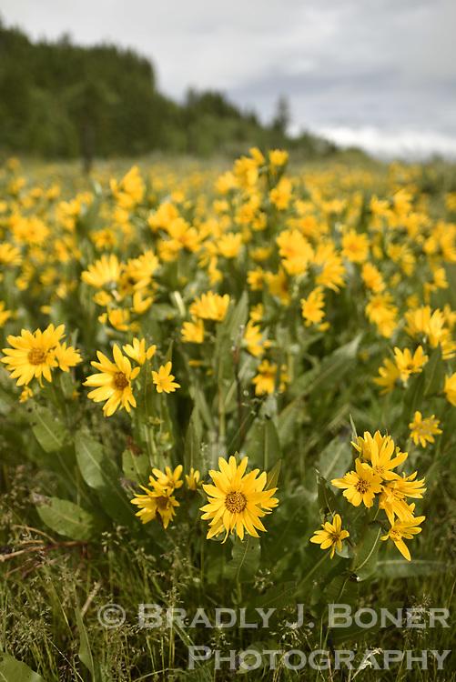 Wildflowers near Victor, Idaho