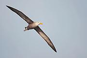 Waved Albatross (Phoebastria irrorata) from Espanola, Galapagos.