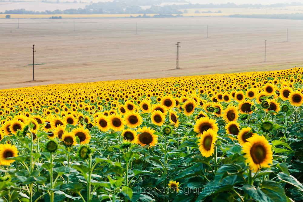 Endless fields of sunflowers