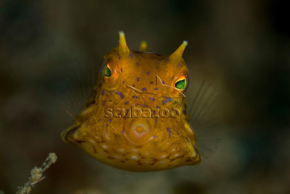 Juvenile Longhorn Cowfish, Lactoria cornuta, KBR, Lembeh Strait, Sulawesi, Indonesia.