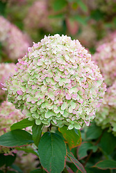 Hydrangea paniculata 'Limelight' AGM syn. Hydrangea paniculata 'Zwijnenburg' - showing autumn colouring