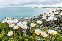 Helichrysum retortum, Sea Strawflower,  Arniston, Western Cape, South Africa