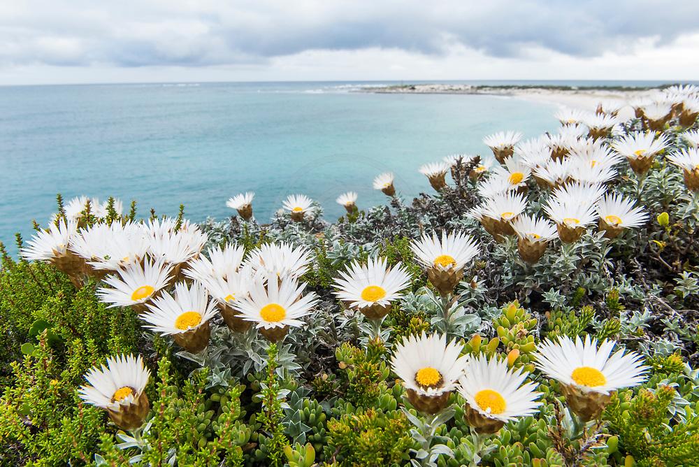 Helichrysum retortum, Sea Strawflower,  Arniston, Western Cape, South Africa