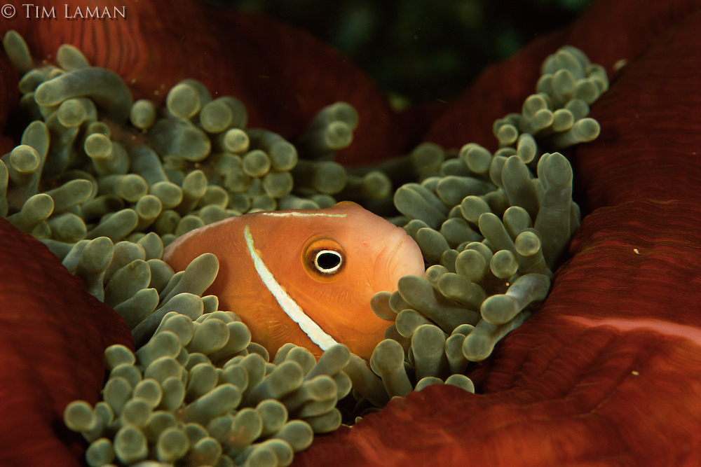 Pink anemonefish (Amphiprion perideraion).