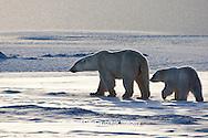 01874-12301 Polar Bear (Ursus maritimus) mother and cub near Hudson Bay  in Churchill Wildlife Management Area, Churchill, MB Canada