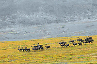 A group of barrenground caribou bulls from the Porcupine caribou herd moves across the tundra along the Yukon - Northwest Territories border in northern Canada