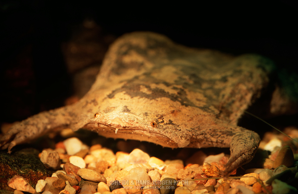 DEU, Deutschland: Wabenkröte (Pipa pipa) ruht unter Wasser auf dem Boden, rein aquatisch lebende Kröte, flacher Körperbau, Herkunft: Surinam | DEU, Germany: Surinam Toad (Pipa pipa) resting under water on ground, aquatic toad, flat body, origin: Suriname |