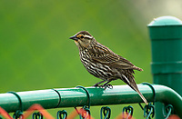 Female Red-winged Blackbird (Agelaius phoeniceus) perched on fence, Fish Creek Provincial Park, Calgary, Alberta, Canada   Photo: Peter Llewellyn