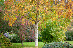 Betula ermanii - gold birch - with autumn colour at Pettifers.