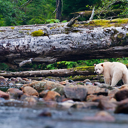 Spirit Bear in the Great Bear Rainforest of British Columbia, Canada