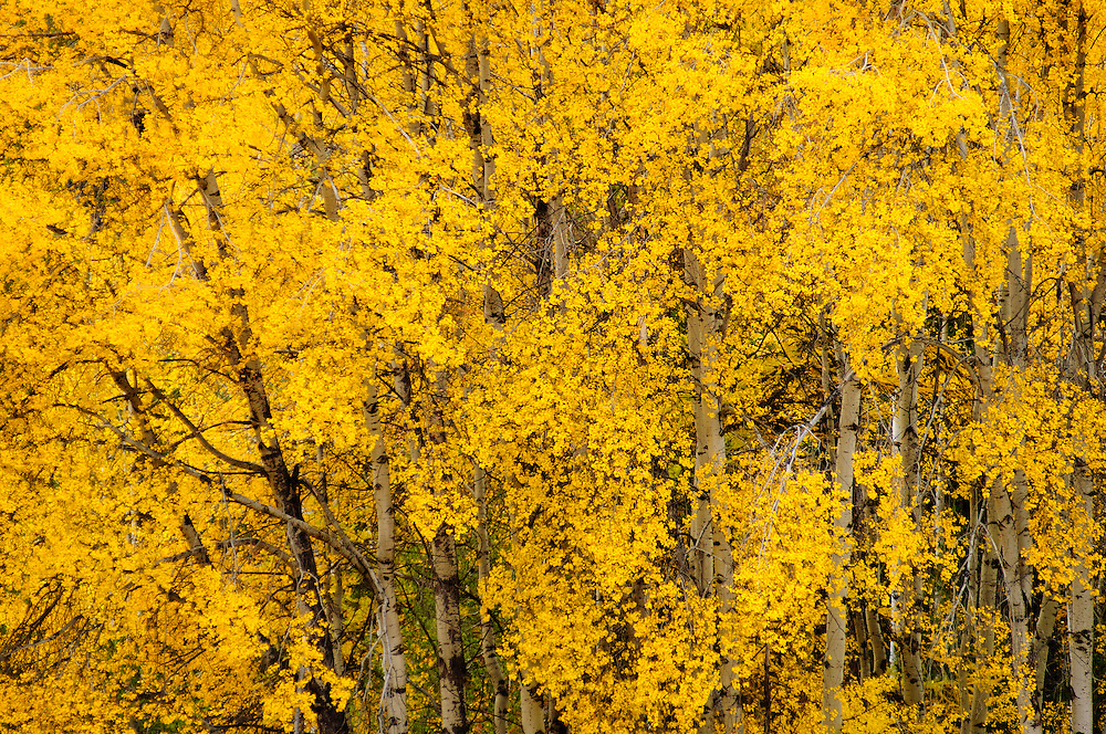 Aspen trees in autumn, Mill Creek Valley, Colville National Forest, northeast Washington.