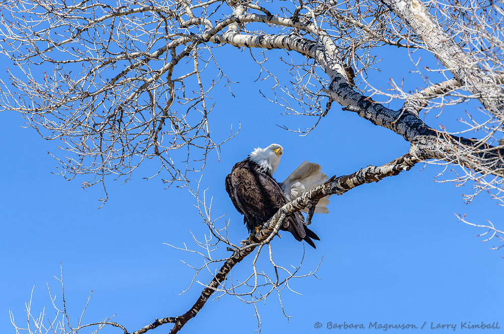 Bald Eagle [Haliaeetus leucocephalus] perched on tree limb to rest and preen; Sherman Lake, Homelake State Wildlife area, CO