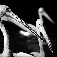 Three pelicans on water: close, further, furthest. Treatment: Holga camera with infra-red film.