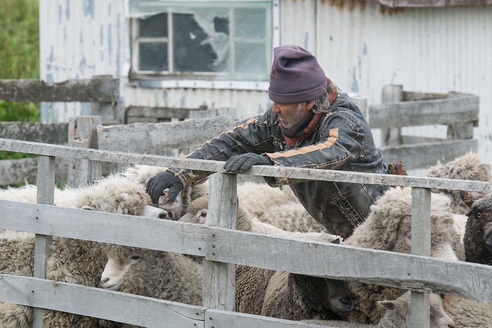 Chilean Gaucho checks his sheep
