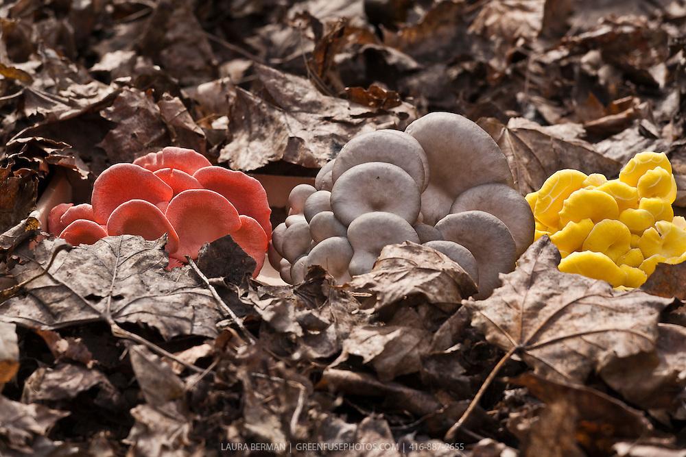 Pink, white and yellow Oyster Mushrooms (Pleurotus ostreatus)