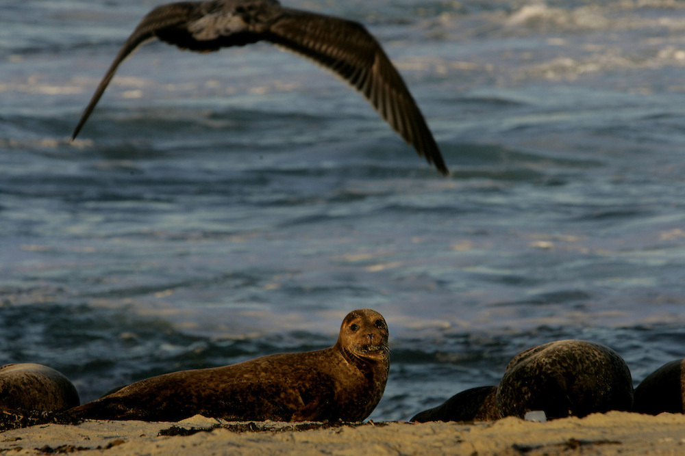 Seals at Childrens Pool in La Jolla on Thursday, January 5, 2006.(Photo by Sandy Huffaker)